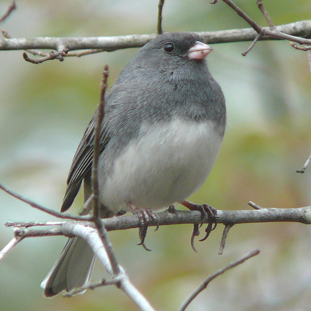 Dark-eyed_Junco-27527.thumb.jpg.22e16c67