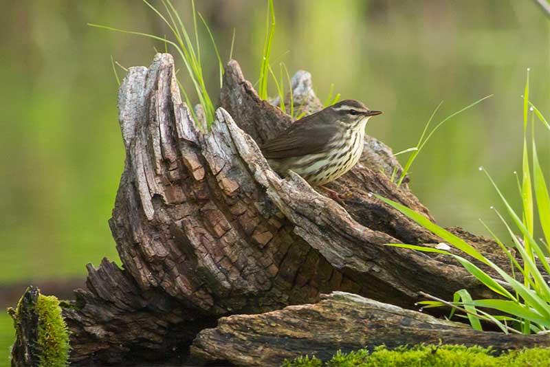 Northern Waterthrush-Web.jpg