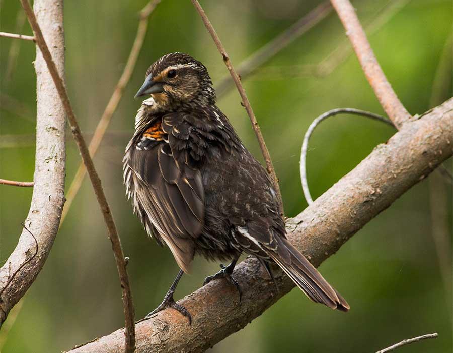 FemaleRedwingBlackbird-Web.jpg
