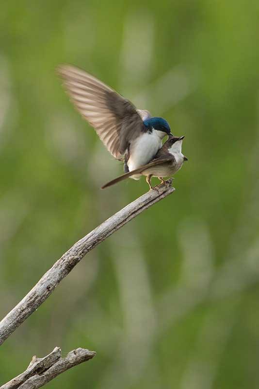 _75B3311-as-WoodSwallow-Web.jpg
