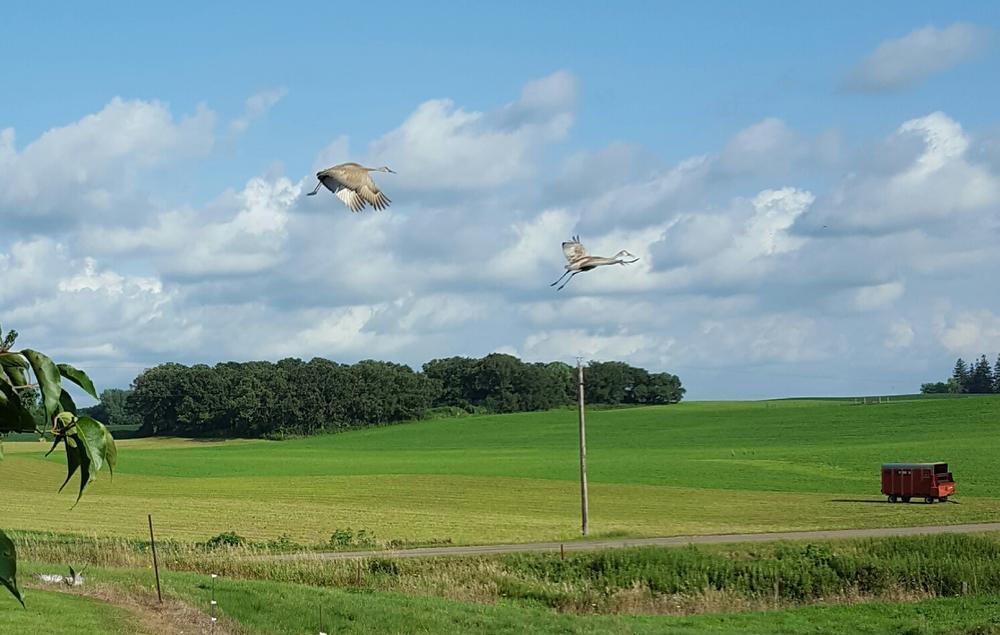 sandhill cranes.jpg