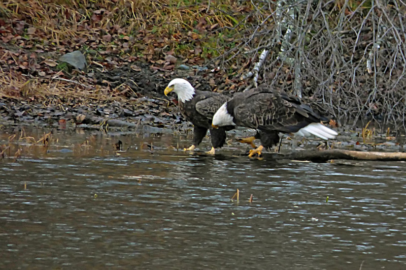 eagles on water again_filtered22.jpg