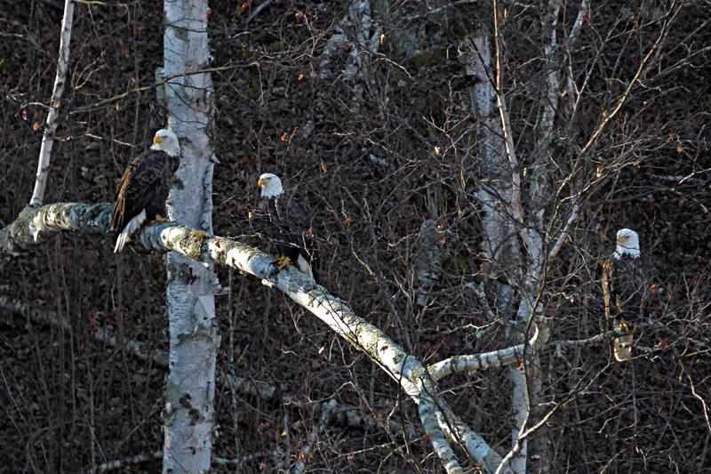 eagle triplets2.jpg