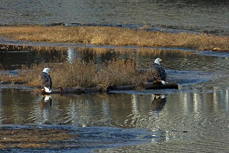 eagle pair on water2.jpg