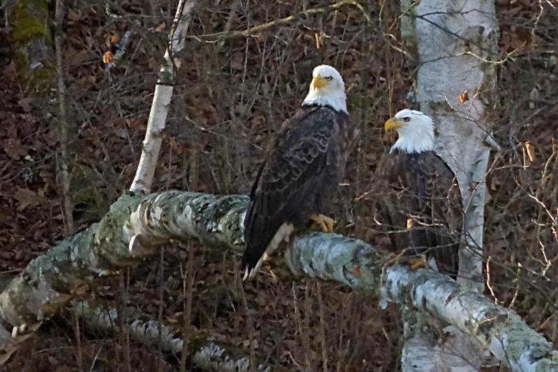 eagle pair in tree2_filtered.jpg