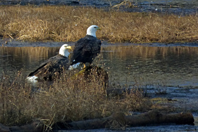 eagle pair2.jpg
