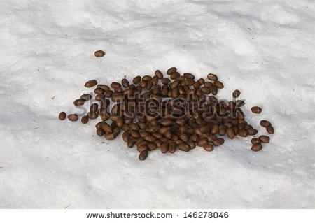 stock-photo-moose-feces-on-top-of-white-winter-snow-at-christmas-holiday-time-reindeer-poop-droppings-spoor-146278046.jpg