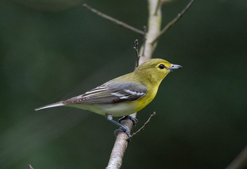 yellow-throated-vireo-vireo-flavifrons-by-anthony-747.jpg