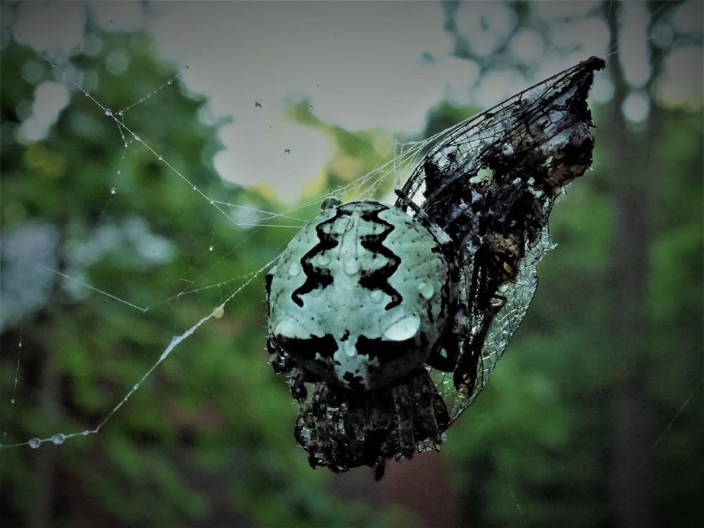 giant lichen orbweaver.JPG
