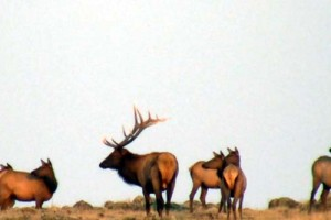 Bowhunting the Elk Herd Bull
