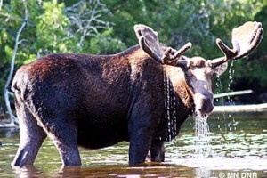 Minnesota's moose population remains at low levels
