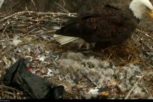 Bald eagles on spring migration back to Minnesota