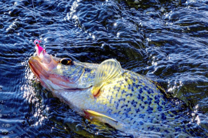 Read Late Summer Crappie Patterns for Frenzied Action